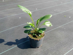 jeżówka Milkshake - echinacea Milkshake