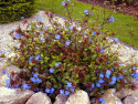 zawciągowiec - ceratostigma plumbaginoides autumn blue