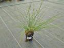 trawa włosowata - Muhlenbergia capillaris