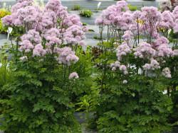 Rutewka Nimbus Pink -...