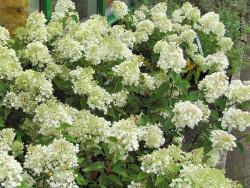 Hortensja Grandiflora -...