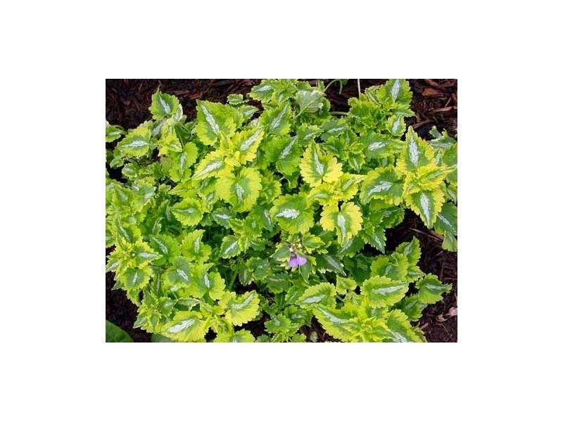 jasnota Anne Greenaway - Lamium maculatum Anne Greenaway