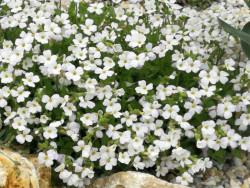 żagwin biały - aubrieta...