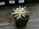 wilczomlecz Tasmanian Tiger - Euphorbia characias Tasmanian Tiger