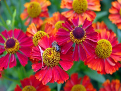 dzielżan Ruby Tuesday - Helenium hybridum Ruby Tuesday