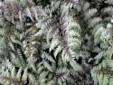 wietlica Silver Falls - Athyrium nipponicum Silver Falls