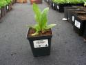 oman wschodni - Inula orientalis