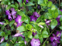 barwinek Atropurpurea - Vinca minor Atropurpurea