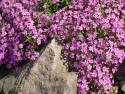 mydlnica bazyliowata - saponaria ocymoides