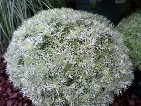 "bylica Silver Mound - artemisia schmidtiana ""Silver Mound"""