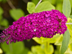budleja Royal Red - buddleja davidii Royal Red