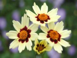 nachyłek Snowberry - Coreopsis Snowberry