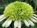 jeżówka Honeydew - echinacea Honeydew
