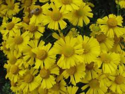 dzielżan Sombrero - Helenium hybridum Sombrero