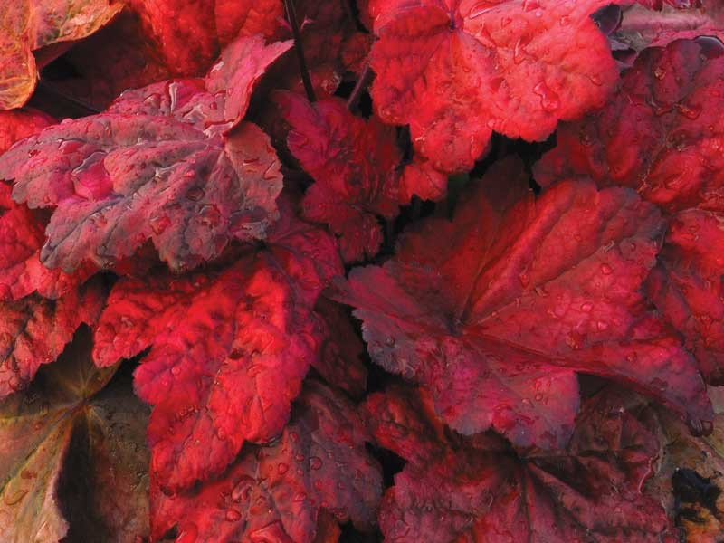 żurawka Autumn Leaves - heuchera Autumn Leaves