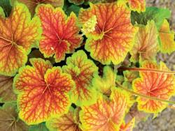żurawka Autumn Leaves - heuchera Autumn Leaves