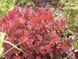 żurawka Crimson Curls - heuchera Crimson Curls