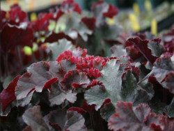 żurawka Crimson Curls - heuchera Crimson Curls