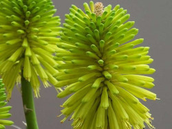 trytoma Redhot Popsicle - kniphofia uvaria Redhot Popsicle