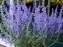 perowskia Lacey Blue - perovskia atriplicifolia Lacey Blue