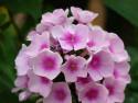 płomyk Bright Eyes - Phlox paniculata Bright Eyes