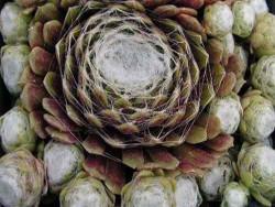 rojnik pajęczynowaty 4 - sempervivum arachnoideum