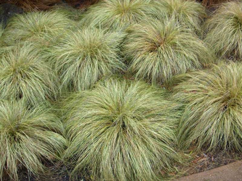 turzyca Frosted Curls - Carex albula Frosted Curls