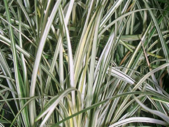 konwalnik Silver Mist - ophiopogon japonicus Silver Mist