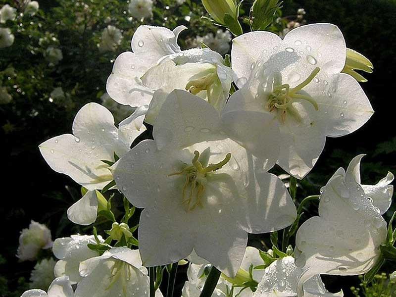 dzwonek brzoskwiniolistny alba - Campanula persicifolia Grandiflora Alba