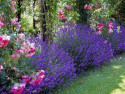 lawenda wąskolistna - lavandula angustifolia