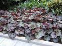 żurawka Palace Purple - heuchera Palace Purple